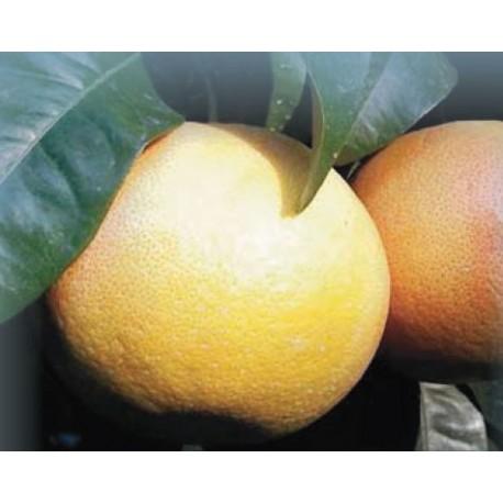 Pomelos de Corse BIO (au kg)