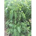 Poivrons verts BIO par kg