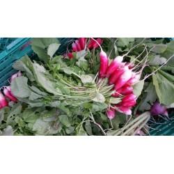 Radis Roses Agric R (à la botte)