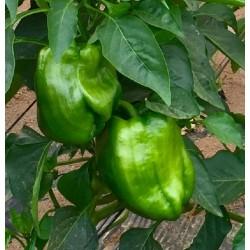 Poivrons verts Agric R (par 500 g)