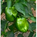 Poivrons verts Agric AR (par 500 g)