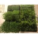 Micro pousses de Basilic  grand vert en bac de 14 *19 cm très dense