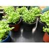 Godet de micro pousses de Coriandre.  A manger petit ou à faire grandir
