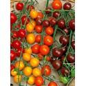 Tomates cerises rouges, noires et jaunes Tanneron AR (au 100 gr)