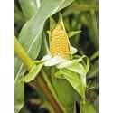 Épis de maïs frais d'Auribeau (vendus à la pièce) AR