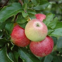 Pommes ruby BIO au Kg