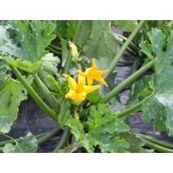 Fleurs de courgettes mâles BIO (la barquette)