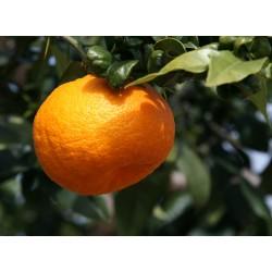 Oranges amères (au kg) PRE-COMMANDE